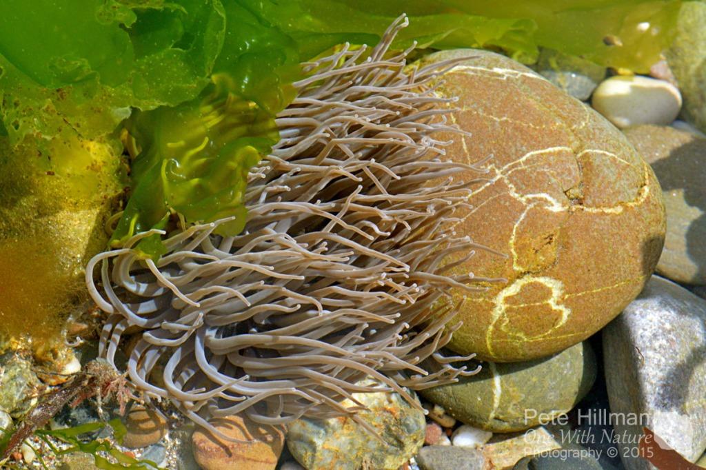 Snakelocks Anemone (Anemonia viridis)