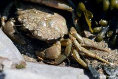 Common Shore Crab (Carcinus maenas)