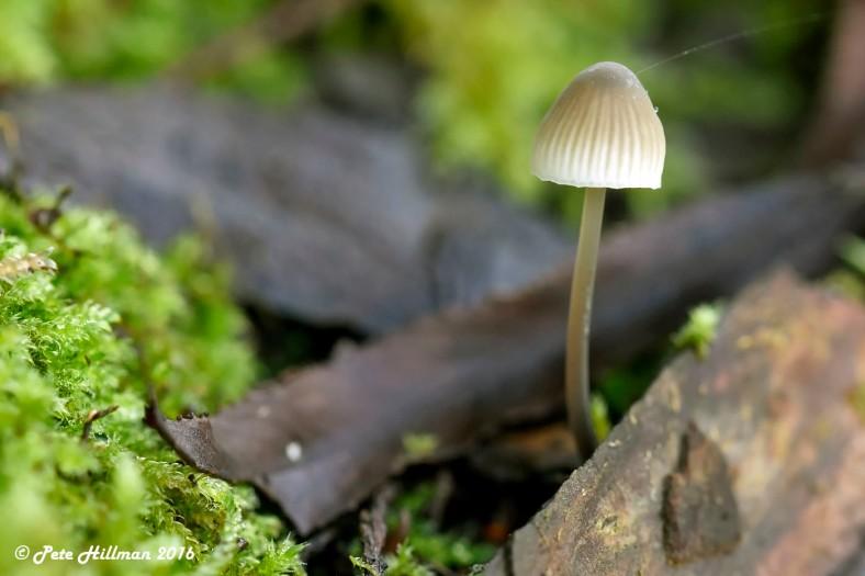 Iodine Bonnet (Mycena filopes)