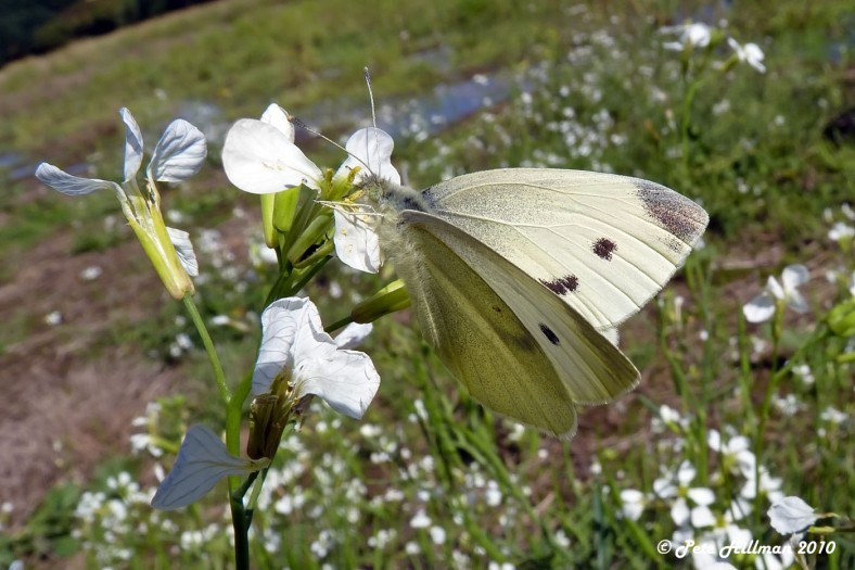 Small White (Pieris rapae) female