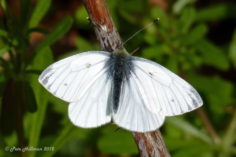 Small White (Pieris rapae) male