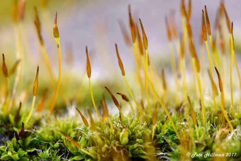 Wall Screw-moss (Tortula muralis)
