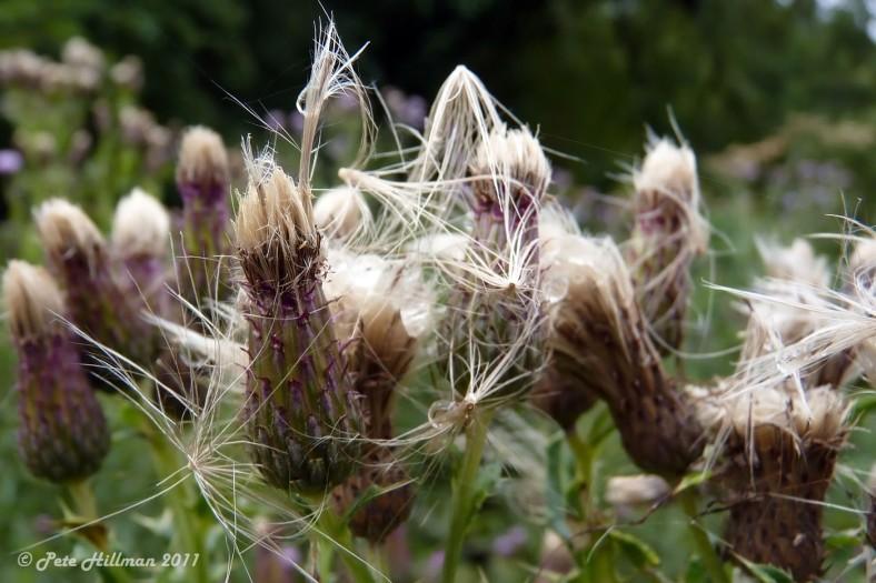 Creeping Thistle Cirsium arvense seedheads