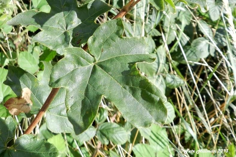 Field Maple Acer campestre leaf