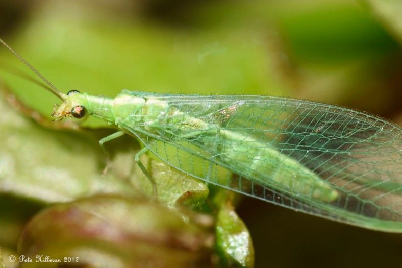 Common Green Lacewing Chrysoperla carnea