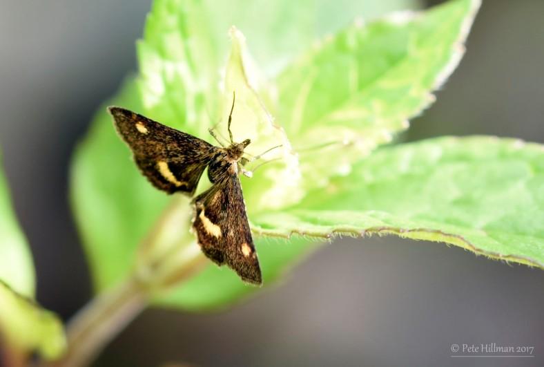 Mint Moth Pyrausta aurata
