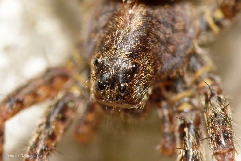 Spotted Wolf Spider Pardosa amentata female with egg sac
