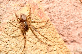 Missing-sector Orb Weaver Zygiella x-notata male