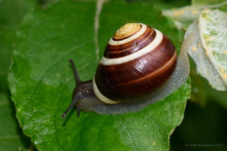White-lipped Snail Cepaea hortensis