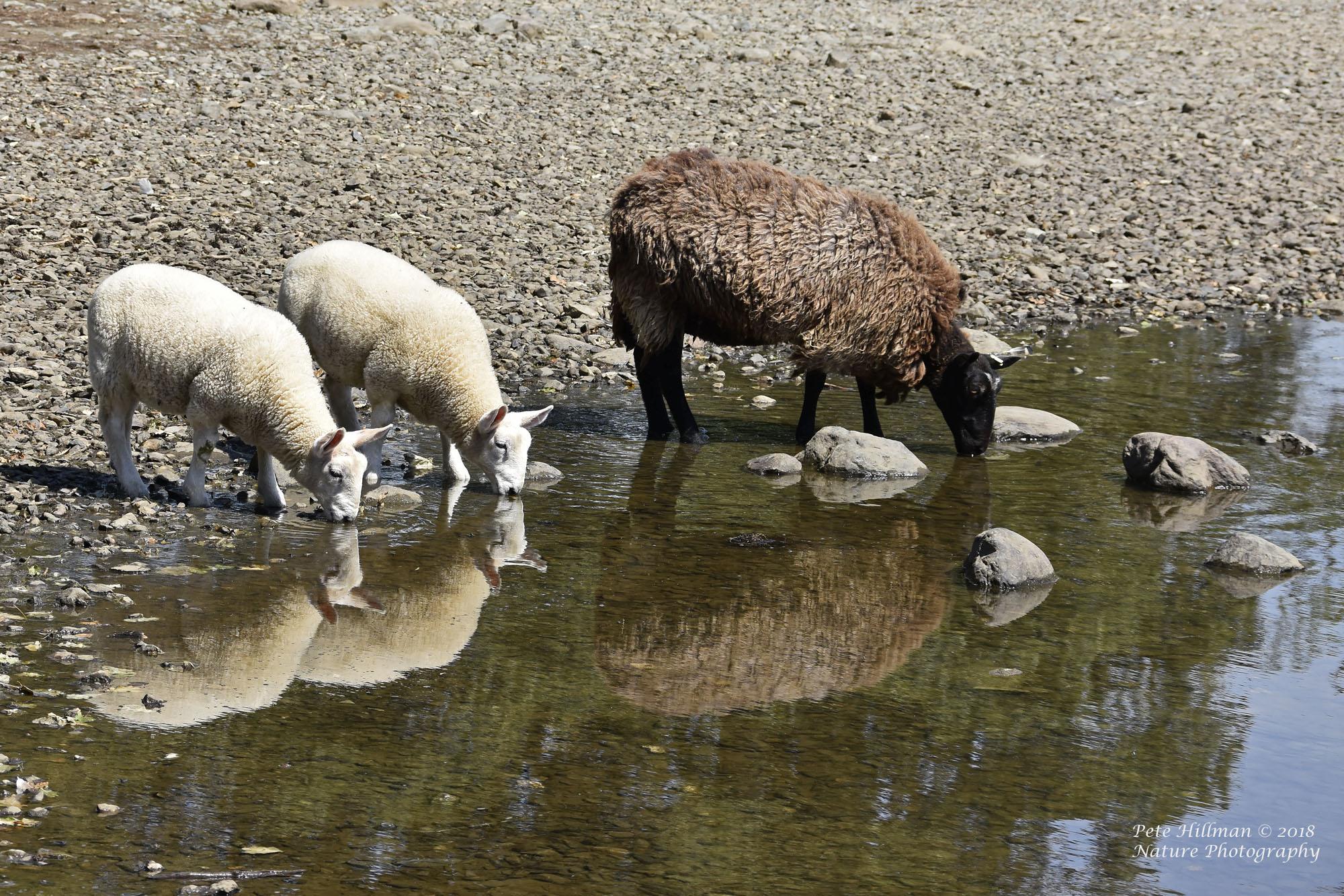 Sheep Derwentwater