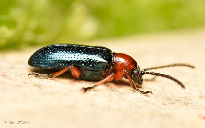 Cereal Leaf Beetle Oulema sp.