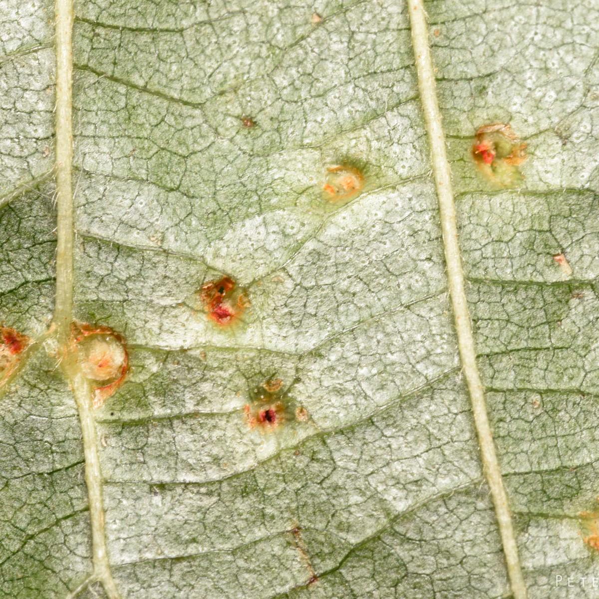 Eriophyes laevis - underside