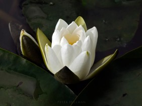 White Water-lily Nymphaea alba